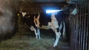 Продам тільну корову